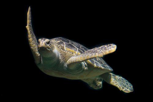 vėžlys,žalias,jūra,vandenynas,gyvūnas,laukinė gamta,povandeninis,maudytis,jūrų vėžlys,žalia jūrų vėžliai,turkis,plaukti,vanduo,jūrų,rifas,nardymas,gyvenimas,vandens,Scuba