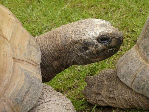 turtle terrestrial vertebrates amniota