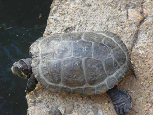 turtle animals amphibians