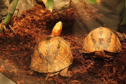 turtle amphibians
