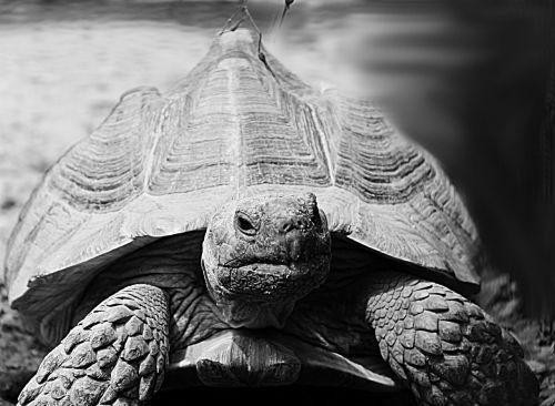 turtle animal grey