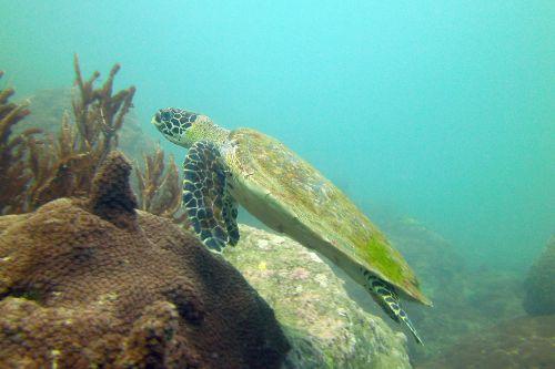turtle koh samui thailand