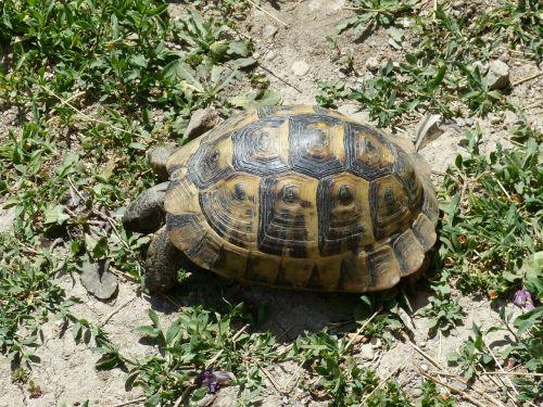 turtle animal grass