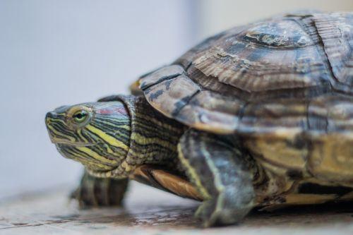 turtle amphibian red eared slider