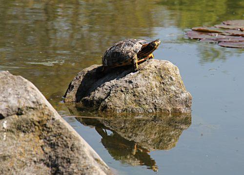 turtle aquatic aquatic animal
