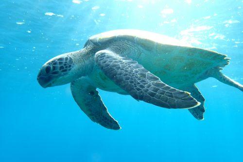 turtle ocean sea life