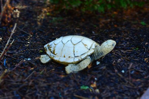 turtle stone front yard