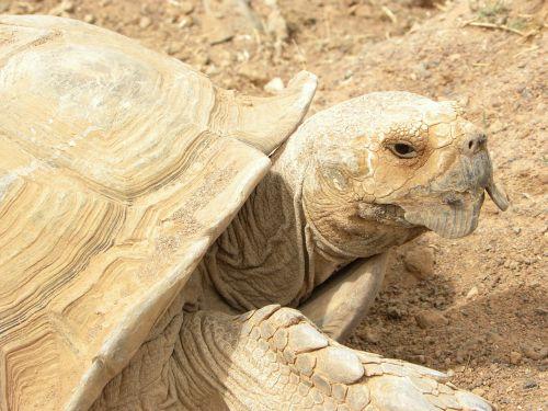 turtle beige giant