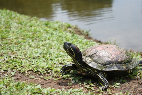 turtle red-eared slider animal