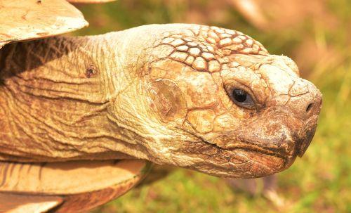 turtle,animal,panzer,slowly,macro,giant tortoise,nature,reptile,tortoise,head,creature,grey,portrait,speed,age,drawing