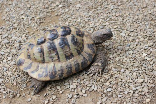 turtle reptile panzer
