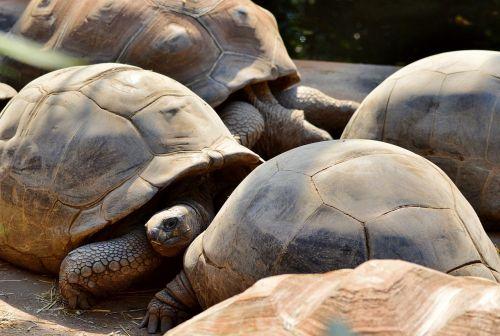 turtle reptile tortoise