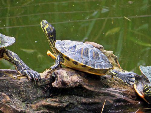 turtle florida turtle aquatic