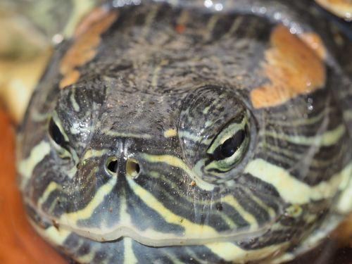 turtle macro reptile