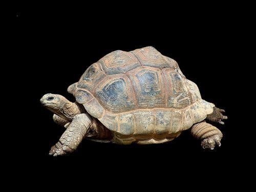 turtle tortoise reptile