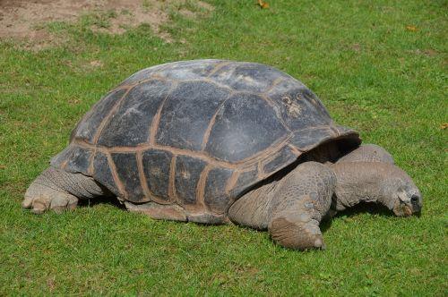turtle crawl armored