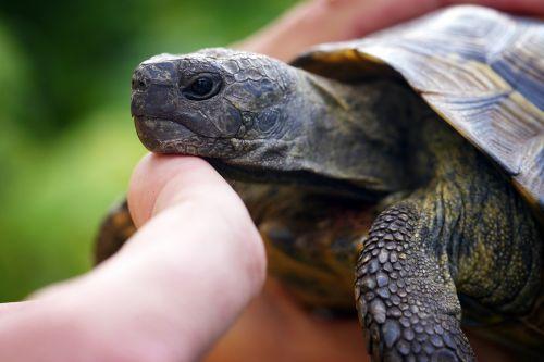 turtle hand tortoise