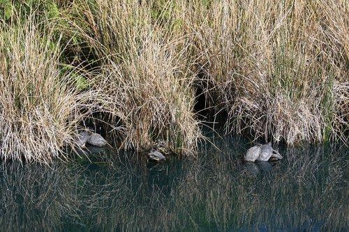 turtle  turtles  nature
