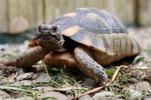 turtle  tortoise  greek tortoise