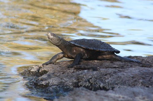 turtle  long-necked  water