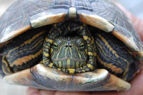 turtle  fauna  reptile