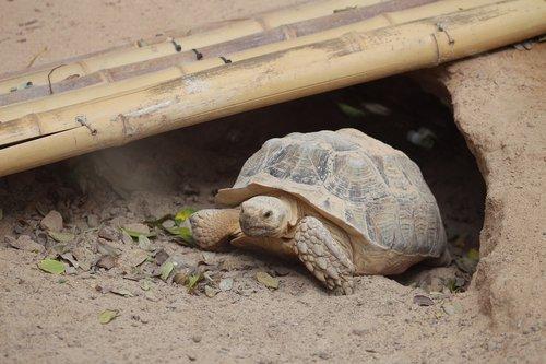 turtle  animals  reptile
