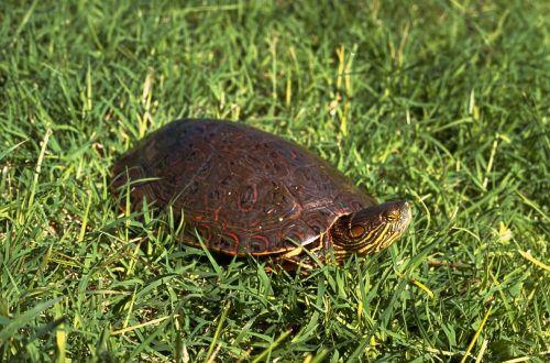 turtle slider bend