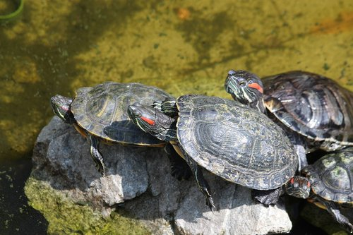 turtle  the red-eared terrapins  nature