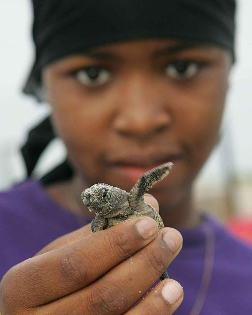 turtle loggerhead baby