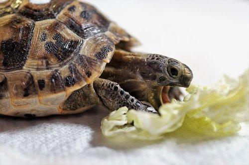 turtle  cub  reptile