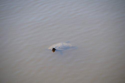 turtle  gorgeous  wild