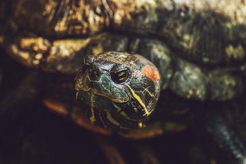 turtle  reptile  armored