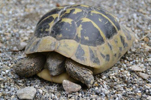 turtle wild panzer