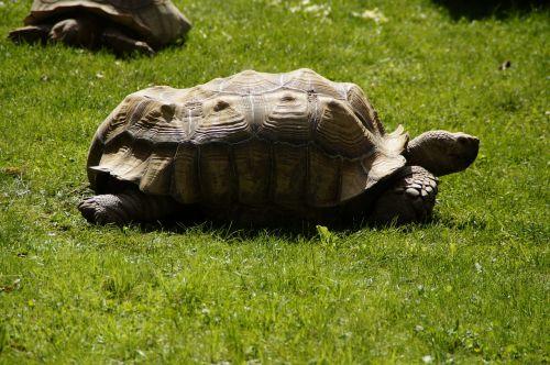 turtle giant tortoise panzer
