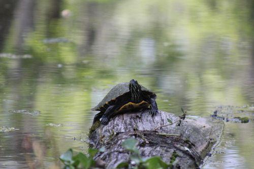 turtle swamp nature