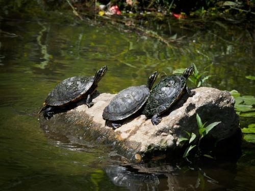 turtle amphibians animal