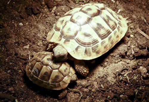 turtle panzer horn