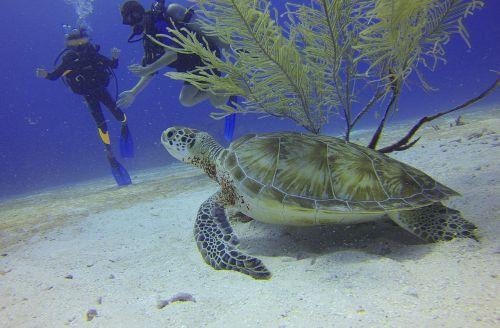 turtle scuba diving divers