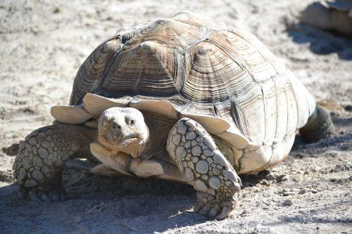 turtle animals slow