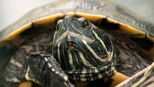turtle animal reptile