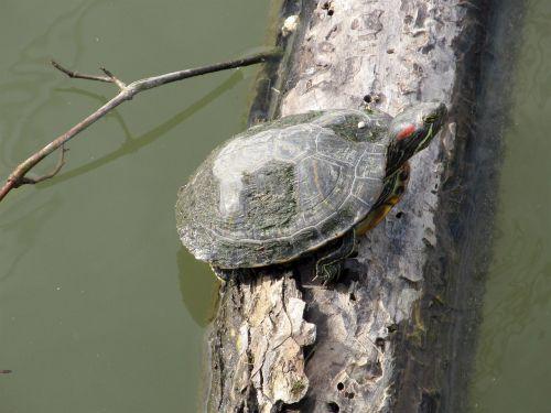 turtle log sunning