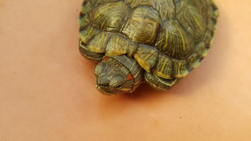 turtle red eared slider green