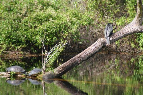 turtle divers swamp