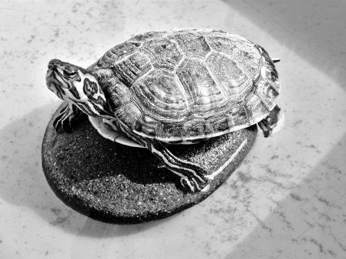 turtle testudinidae reptile