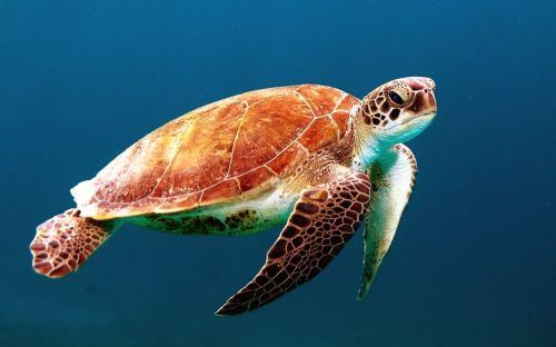 turtle tortoise swim