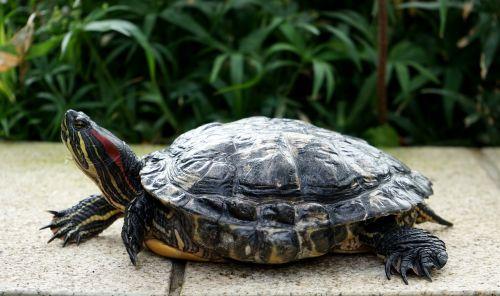 turtle head panzer