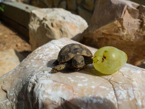 turtle panzer reptile