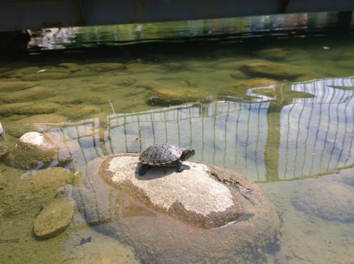 turtle resting snapping
