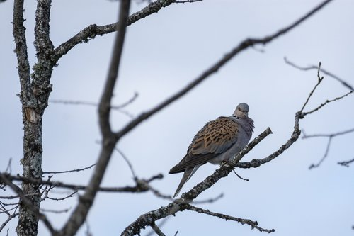 turtle dove  bird  nature