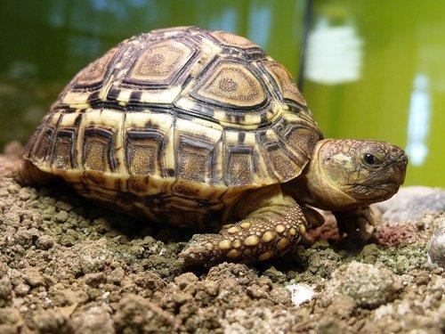 turtle leopardia  terrestrial turtle  turtle